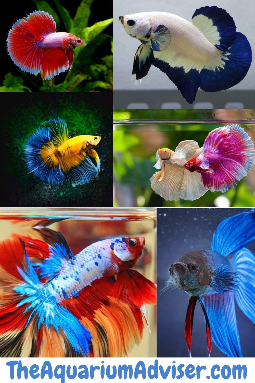 Types Of Betta Fish In 2020 Betta Fish Types Betta Fish Betta