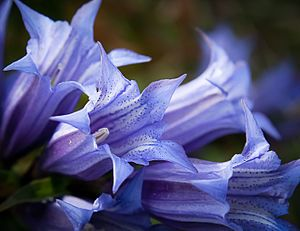 Gentian Bach Flower Essence Your Personal Wellness Consultant Bach Flower Remedies Flower Essences Flower Remedy