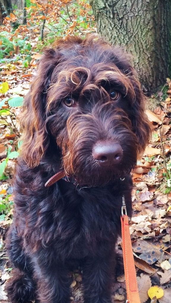 Baxter Labradoodle Pictures Dogs