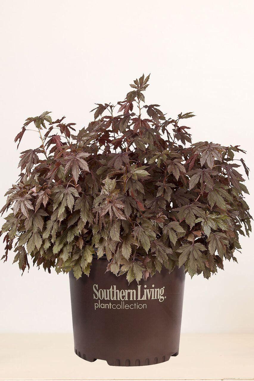 Buy Southern Living Panama Red Hibiscus Landscapebushred Foliage