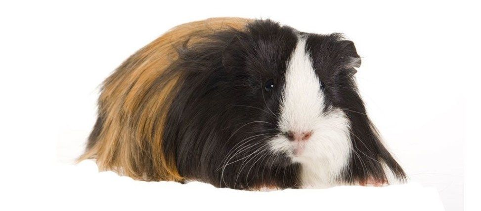 Pin on Pet Rabbits, Guinea Pigs, and Small Animals