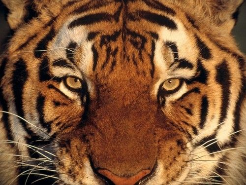 Wallpaper of Tiger for fans of Tigers. Close Up