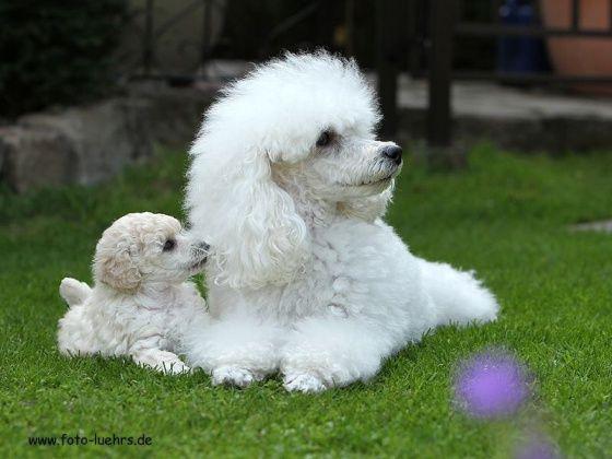 White Mini Poodle Clarice La petite beauté with a puppy