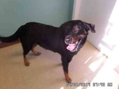 Killeen Tx Great Dane Mix Meet Gatsby A Dog For Adoption
