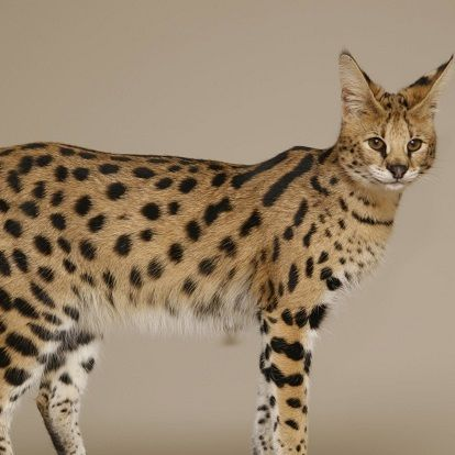 Savannah Cat Cat Breeds Savannah Cat Savannah Chat