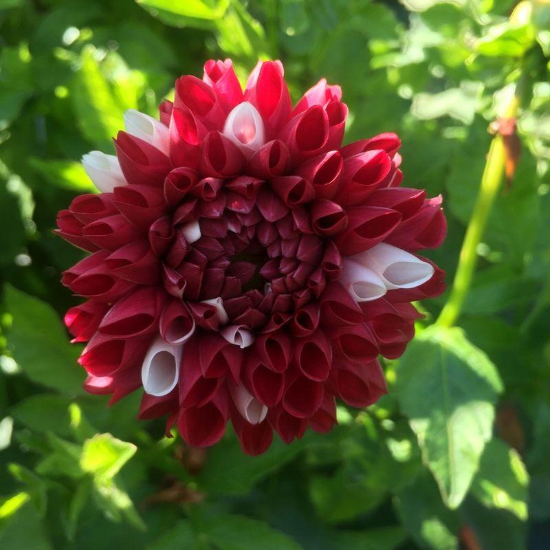 York And Lancaster Dahlia Flowers Growing
