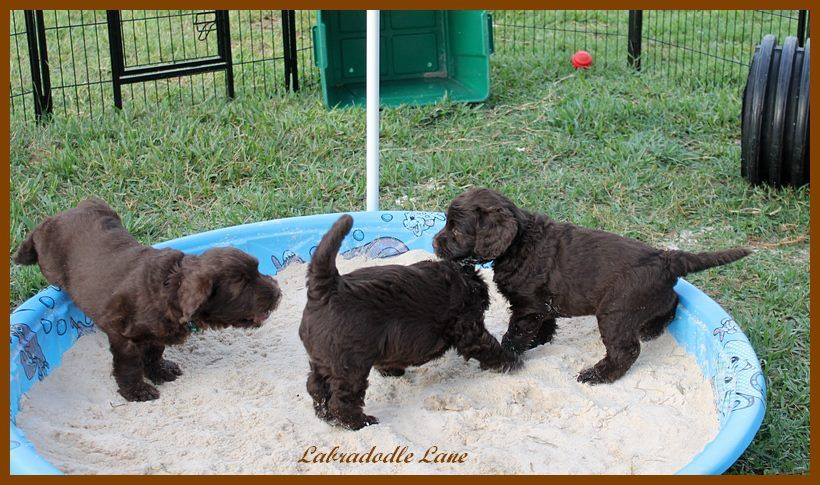 Chocolate Labradoodle puppies playing in a sandbox