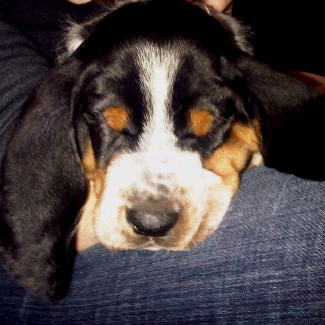 Baby Bassett hound