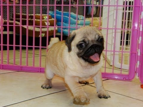 Pin By Pugs Lover T Shirt Store On Little Pugs Pug Puppies Pug