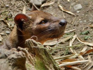 Save the Endangered Fossa From Extinction