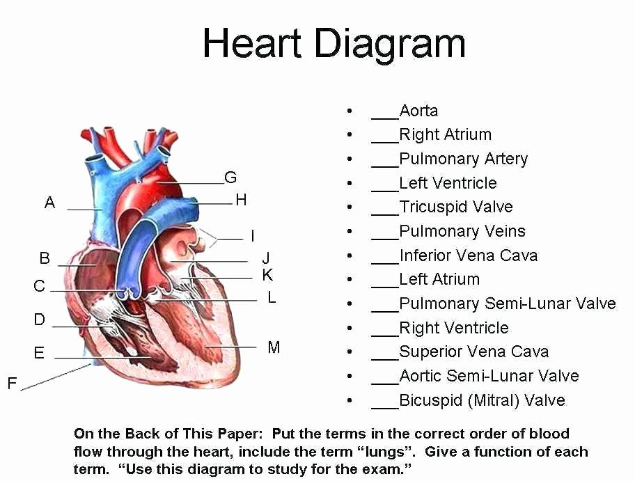 Blood Flow Sequence Worksheet Answers - worksheet