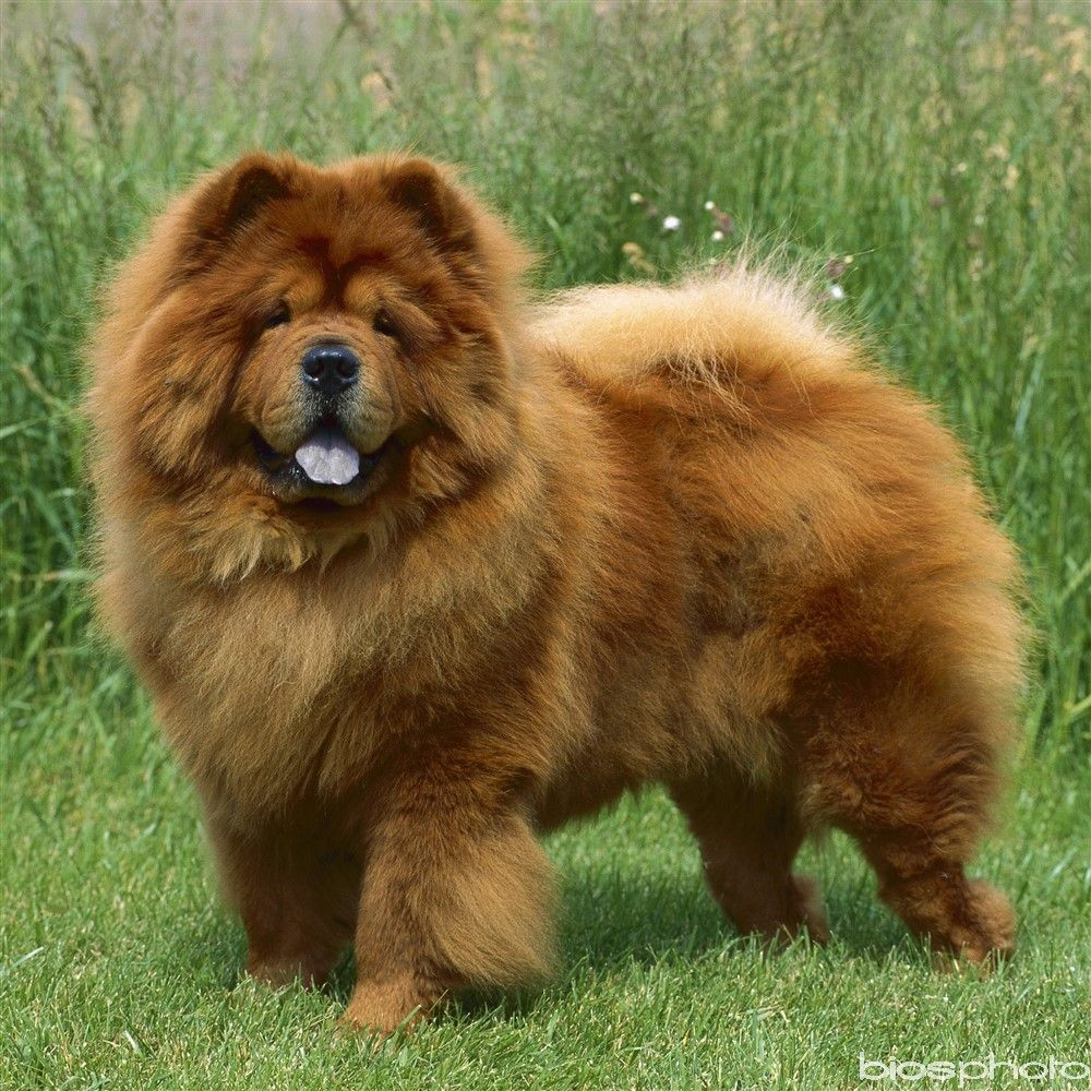 Chowchow De Race Chow Chow Dogs Chow Chow Chow Dog Breed