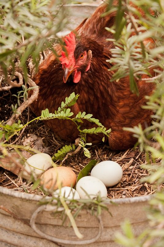 Yaye Fyeatnyeya Fayamѕ Hen Farm Chickens Backyard Chicken Farm