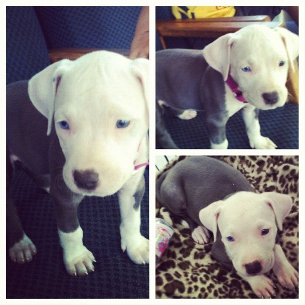 Pin By Yazmin Nunez On My Pets Cute Animal Quotes Blue Nose Pitbull Puppies Pittie Puppies