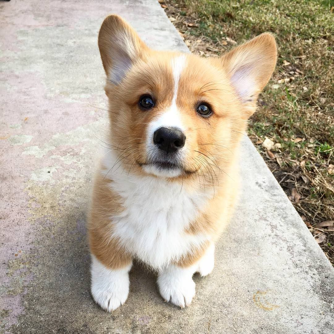 Bear Is Hopeful For Some More Walkies Cute Animals Cute Corgi Corgi Dog