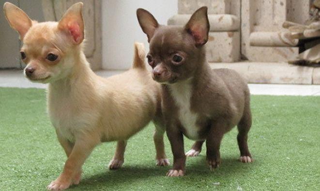 Cachorro chocolate