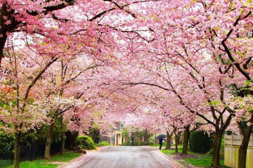 Cherry Blossom In 2020 Tourist Places Cherry Blossom Festival Cherry Blossom