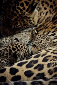 I never realized how absolutely gorgeous leopards are until today.