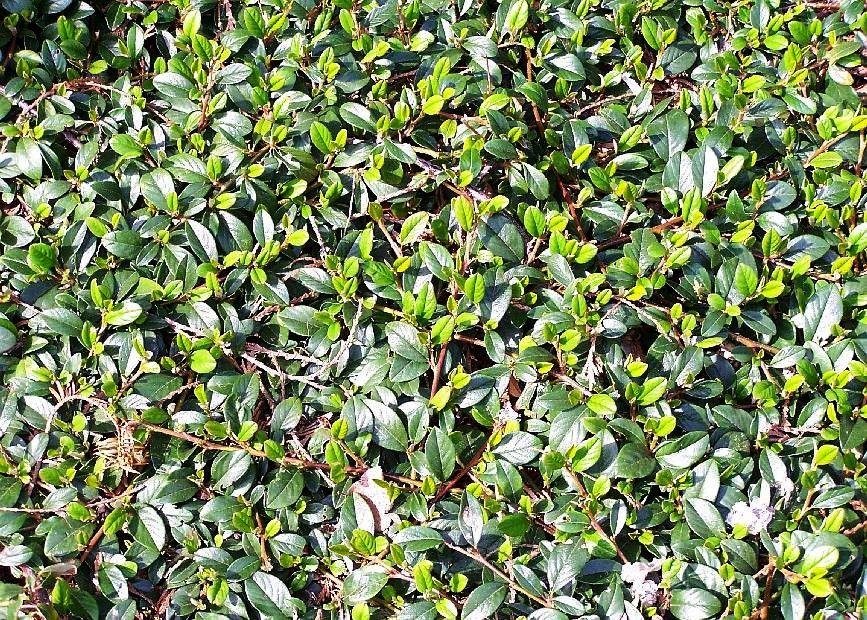 Bodendecker geh lze kriechgeh lze bodendecker stauden und grabbepflanzung - Cotoneaster dammeri green carpet ...