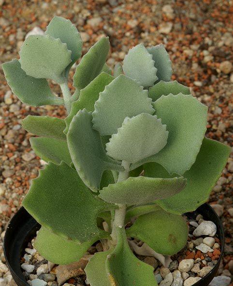 Kalanchoe Millotii Succulent