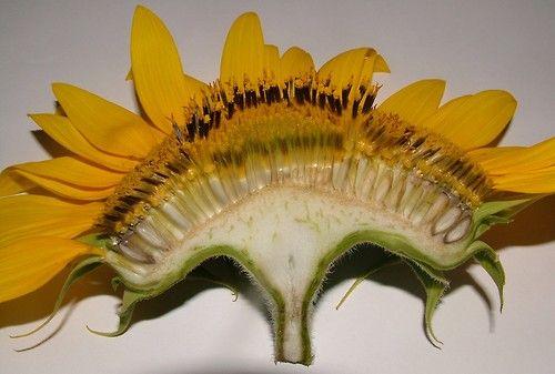 Pin By Sara Waldron Dare On Flower Sunflowers Tumblr Flower Anatomy Sunflower