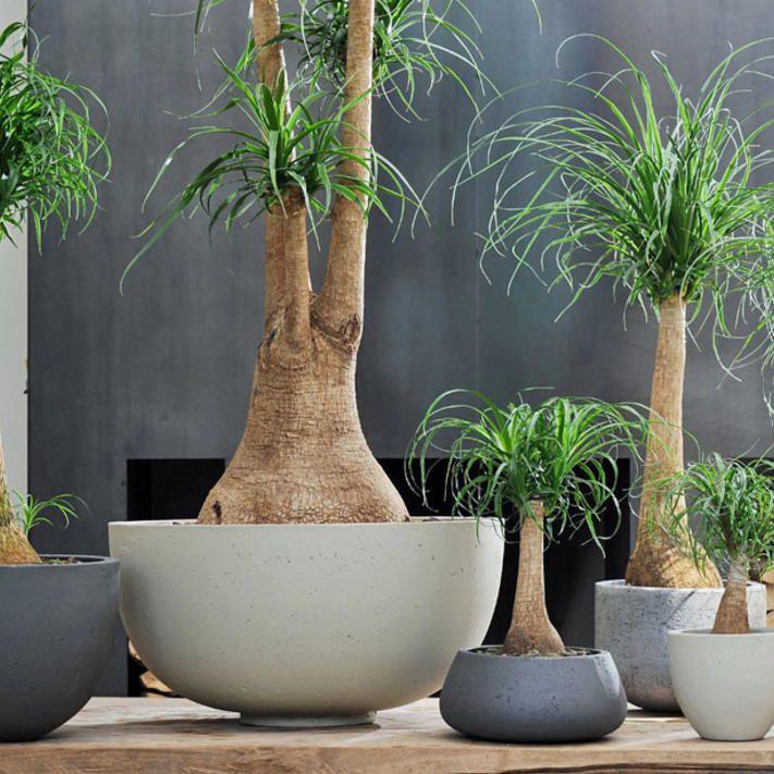 Elefantenfu  Urban Jungle  Garten pflanzen Wohnzimmer pflanzen und Pflegeleichte zimmerpflanzen