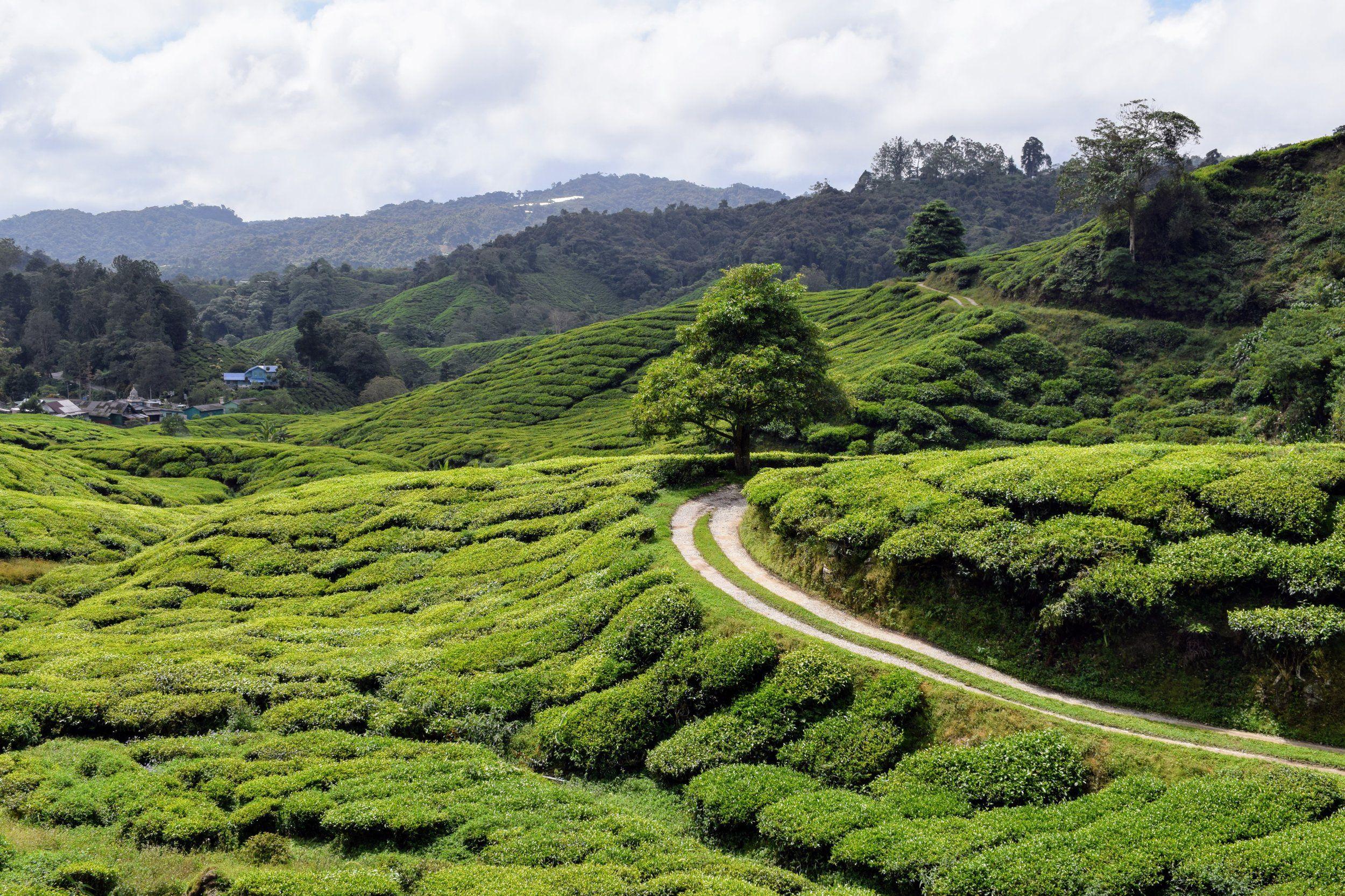 Two Days In Malaysia's Tea Country Malaysia resorts, Tea