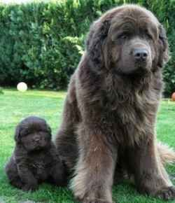 Newfoundland dogs are considered the St. Bernard of the sea. Known for their giant size, considerable strength, loyalty and incredibly calm demeanor, they were working dogs by the docks and have a history of saving people - and boats - from going under. Fam, if I get several more acres, we're getting one.