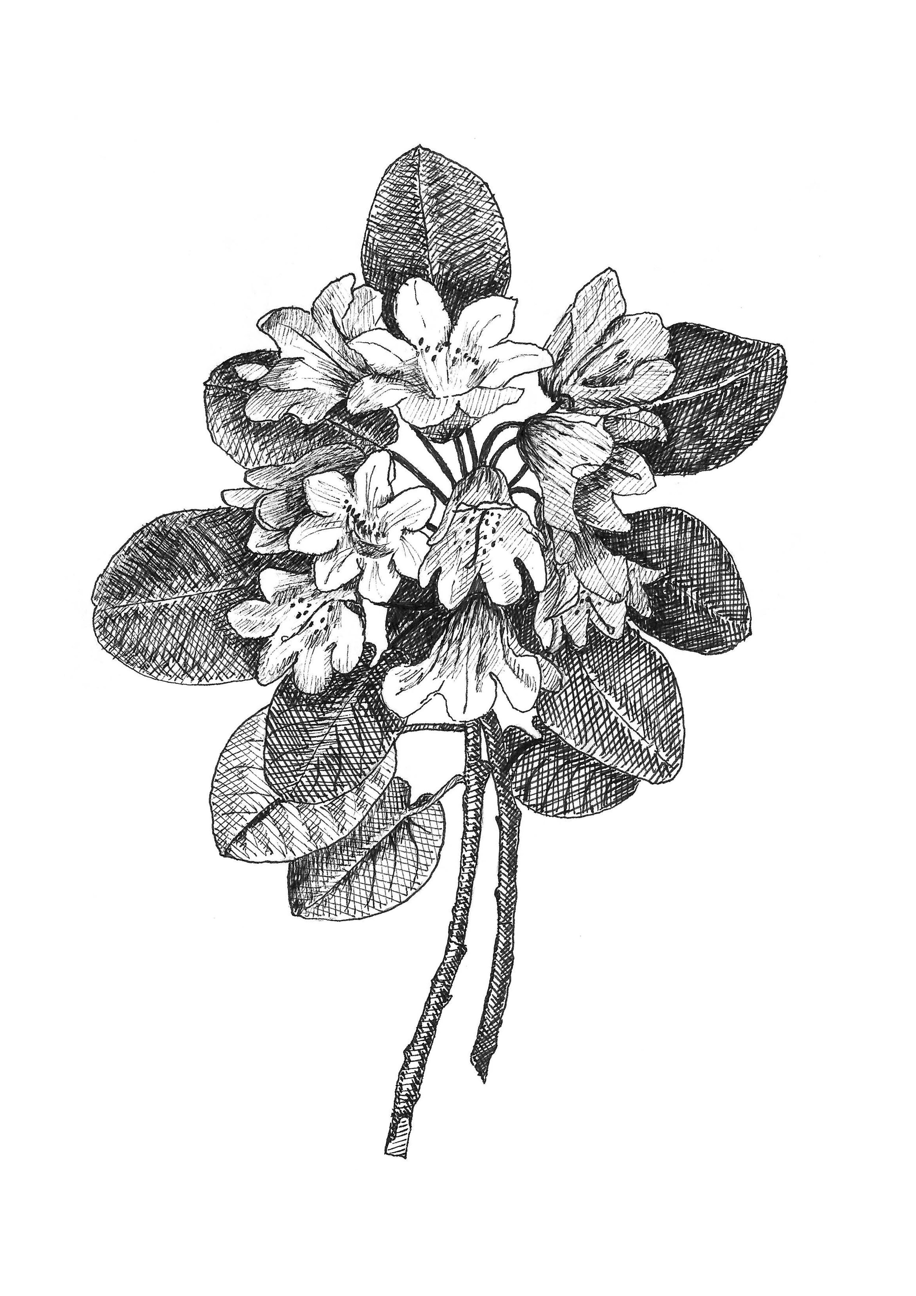 Coastal rhododendron botanical illustration black and