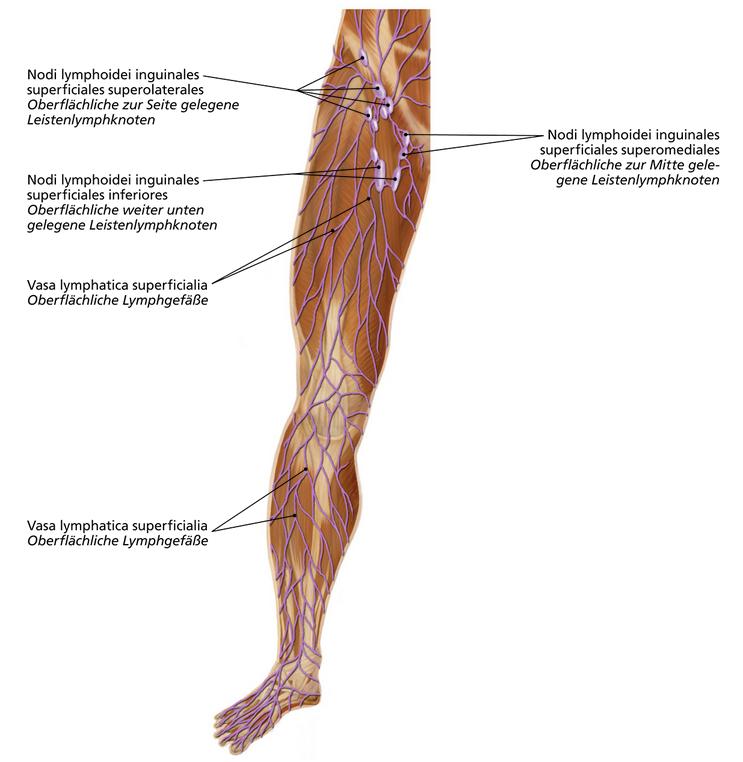 Fantastisch Leistenlymphknoten Anatomie Fotos - Anatomie Ideen ...