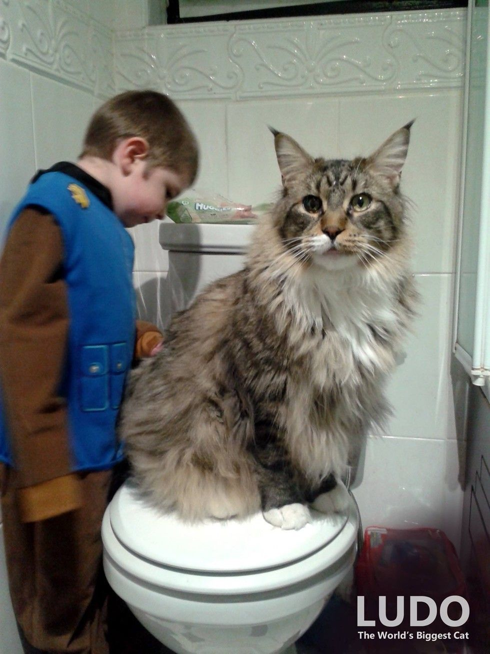 meet ludo a three year old maine coon who is not only the biggest maine coon in the world he is also the biggest house cat this is an exclusive limited