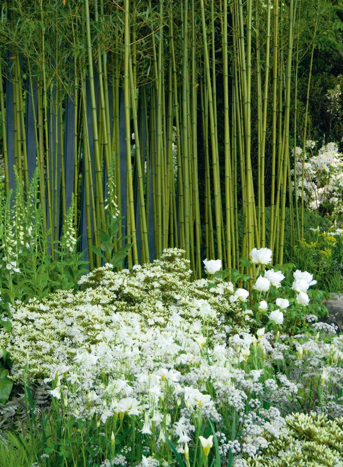 Comment Faire Pousser Bambou bambou : 6 façons de l'utiliser au jardin | jardins, bambou