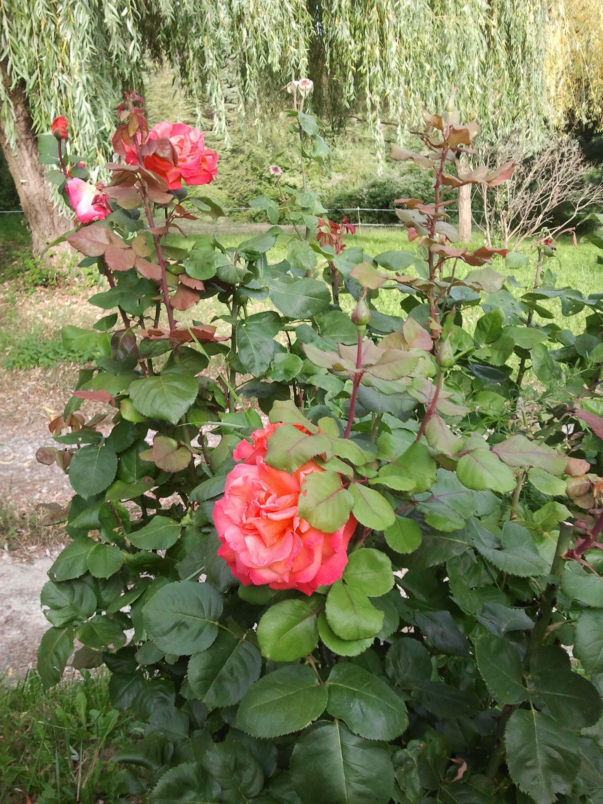 Bouquet de Roses ...! ! !