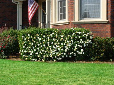 Blooms On The Bush Not The Ground Finally A Fragrant Gardenia Plant That Won T Lose Its Flowers After Late Sp Gardenia Shrub Planting Flowers Gardenia
