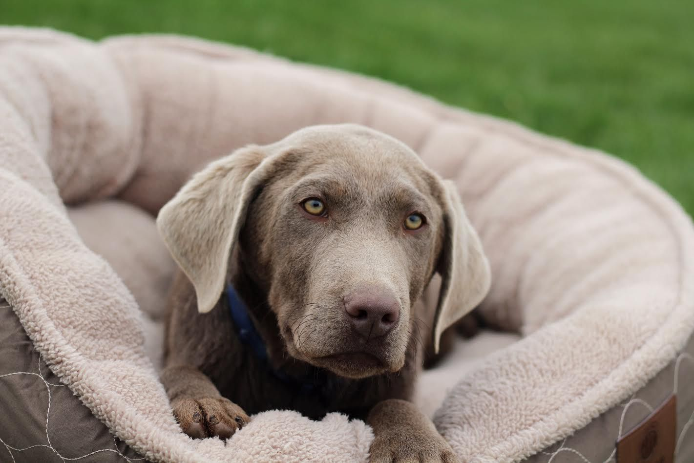 Beautiful Silver Lab Trained Puppy Ready For His New Home