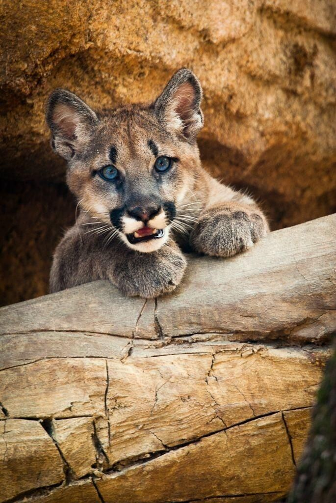 96b5b4b74963 Attentive Little Cougar Cub at the Den Entrance.