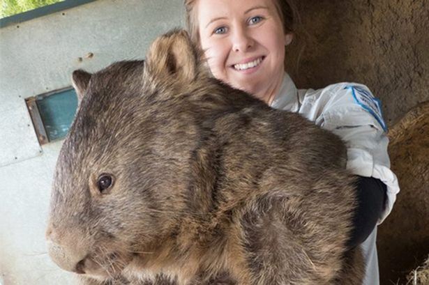 wombat - Buscar con Google