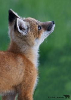 Image result for baby fox looking up