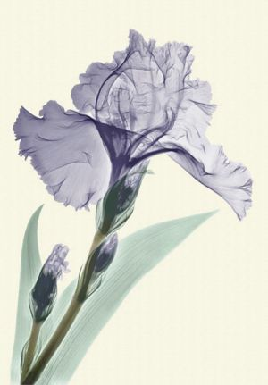 blue-iris xray photography