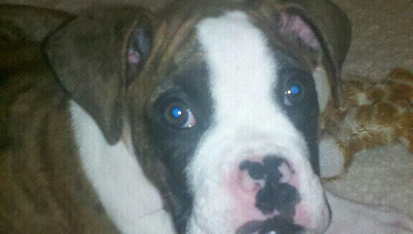 tucker 3 month old make boxer puppy all things dog related
