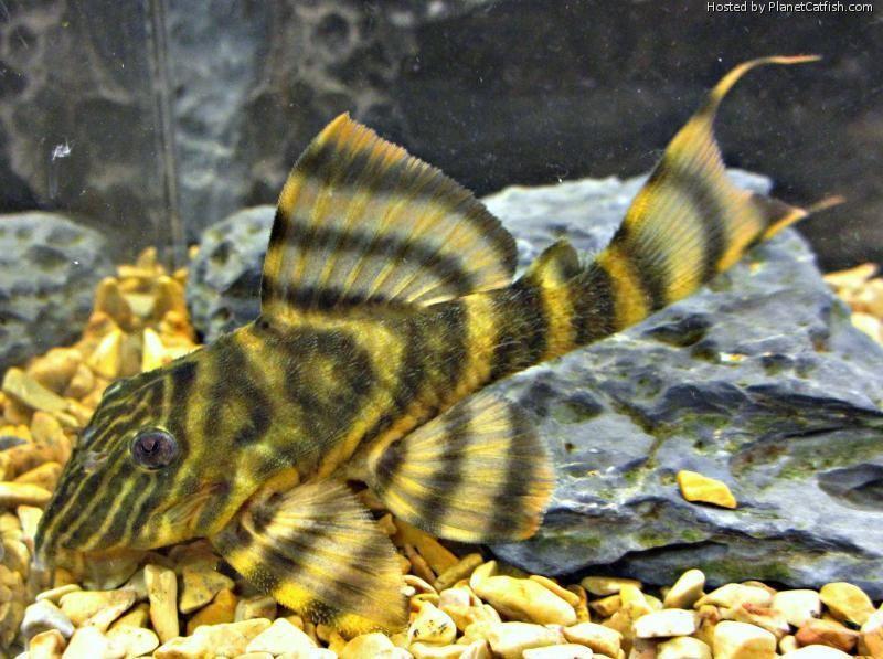 Wild Caught L398 Tiger Tankei Pleco Breeding Size 4 5 Breeding Caught L398 Pleco Size Tankei Saltwater Aquarium Fish Aquarium Fish Fish Tank Plants
