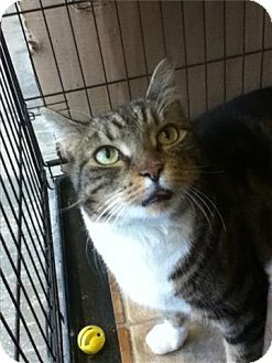 Freeport Ny Domestic Shorthair Meet Artie A Cat For Adoption Cat Adoption Pets Cats