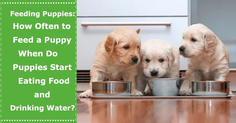 Feeding Newborn Puppies How Often To Feed A Puppy When Do Puppies Start Eating Food And Drinking Water