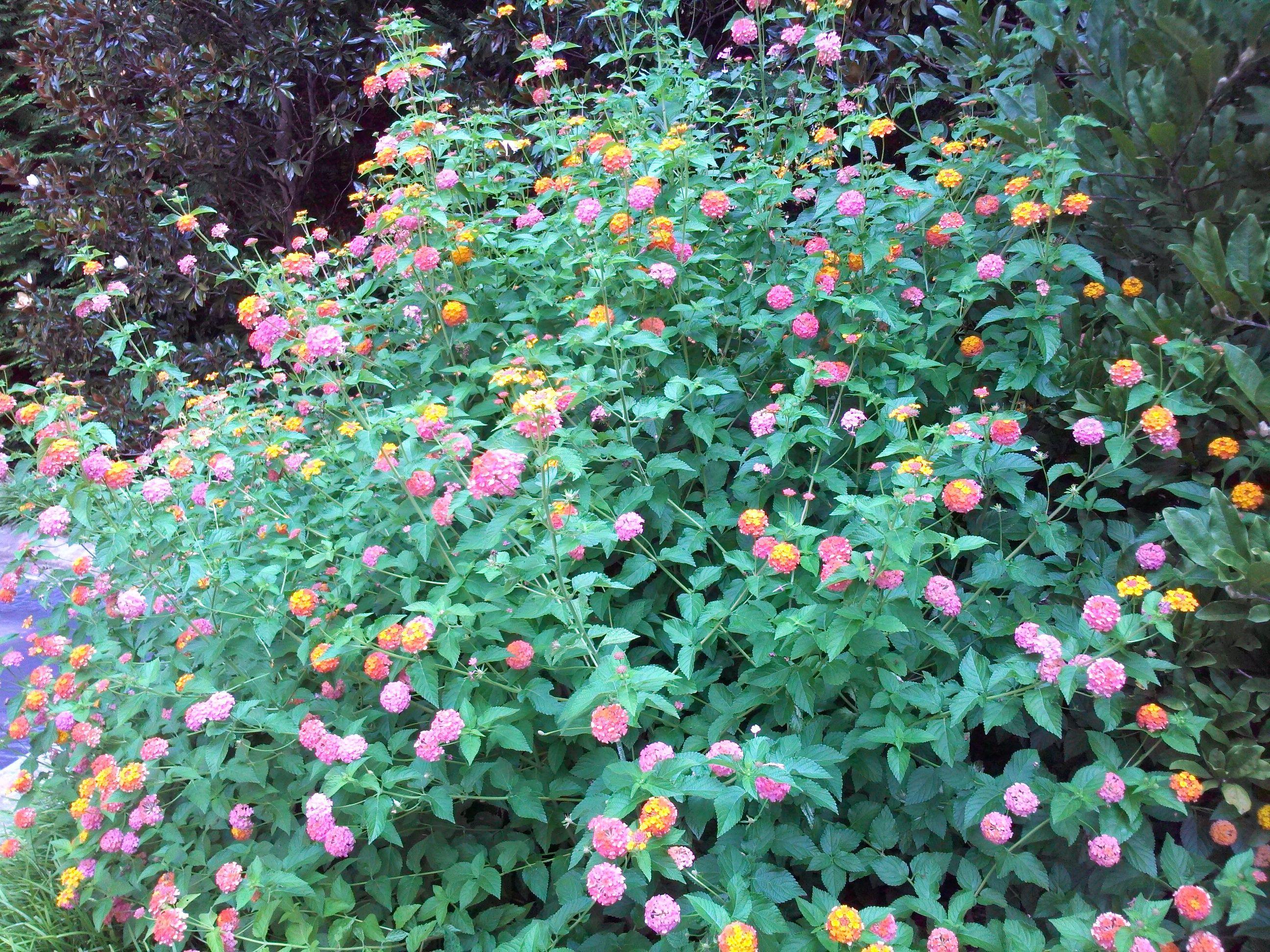 Mhl Miss Huff Lantana Garden Proposal Planting Flowers