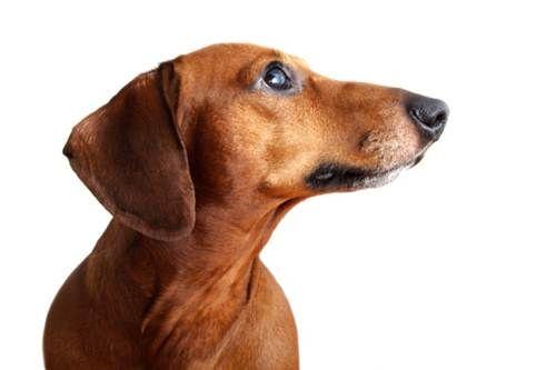 Cane bassotto the fattest dog in the world tutto zampe for Bassotto cane