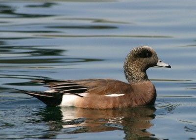 American Wigeon | Great backyard bird count, Birds, Gbbc