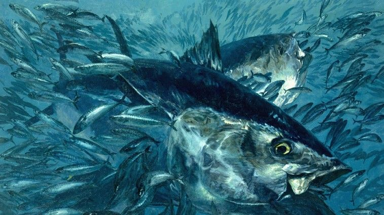 Plight Of The Bluefin Tuna Sport Fishing And Fly Fishing