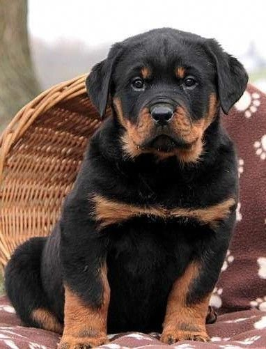 Pin By Zynah Sayyed On Rottie S Rottweiler Puppies For Sale