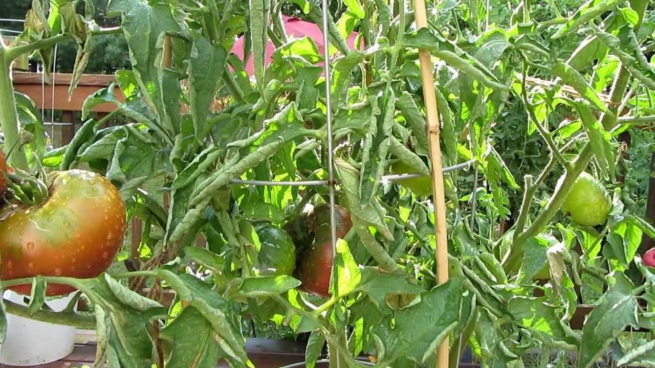 Tomato Profile The Black Krim Heirloom Tomato The 400 x 300