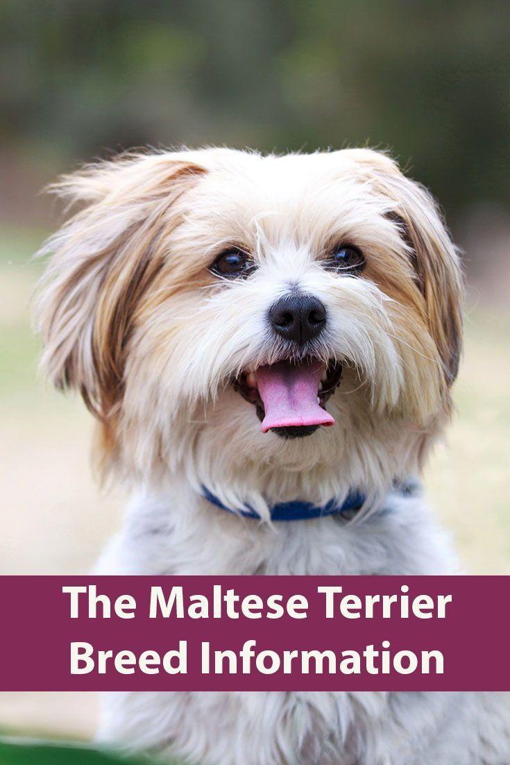Maltese Terrier Breed Information Terrier breeds, Top
